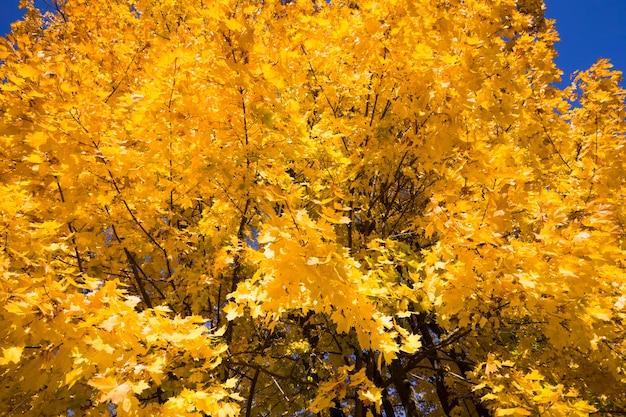 Крупным планом на желтых кленовых листьях
