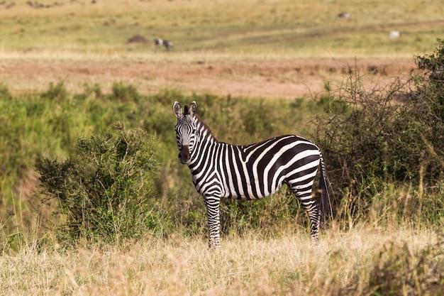Крупным планом зебры на холме в саванне