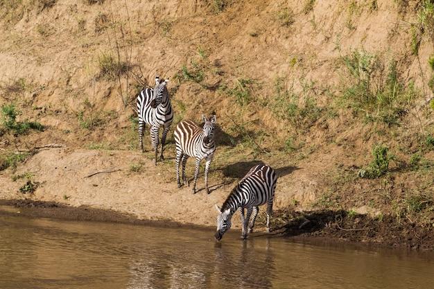 Крупный план зебр у кромки воды