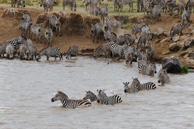 Крупным планом зебры переплывают реку мара