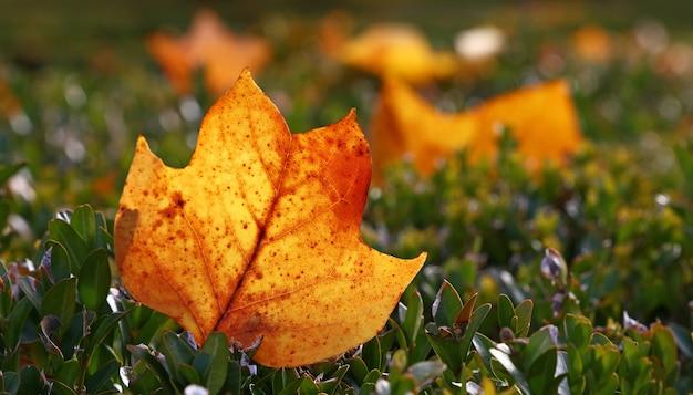 Закройте один с подсветкой оранжевый осенний упавший лист тюльпанного дерева в траве на земле, вид под низким углом