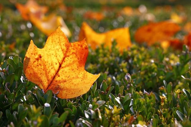 바닥에 있는 잔디에 백라이트 오렌지 가을 떨어진 튤립 나무 잎 한 개를 닫고 낮은 각도 보기