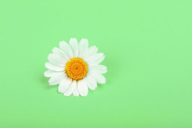 녹색 배경 위에 신선한 흰색 카모마일 꽃의 하나의 flowerhead를 닫습니다