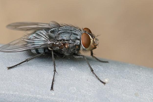 Primo piano di una delle mosche bluebottle più comuni