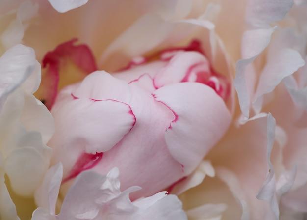 하나의 파스텔 핑크 모란 꽃 머리 배경을 닫습니다