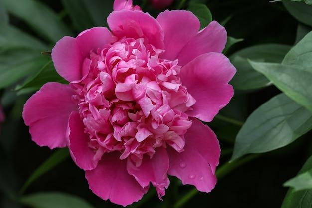 녹색 배경 위에 보라색 분홍색 모란 꽃송이 하나를 닫습니다