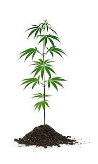 흰색, 낮은 각도 측면보기에 고립 된 토양 힙에서 자라는 하나의 작은 신선한 녹색 대마초 또는 대마 식물을 닫습니다