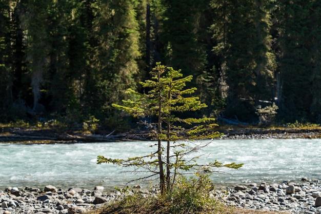 화창한 날에 강둑에 의해 성장 한 작은 젊은 소나무를 근접. 성장과 환경의 개념.