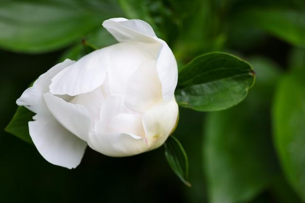 녹색 배경 위에 꽃잎을 여는 흰색 모란 꽃봉오리 하나를 닫습니다
