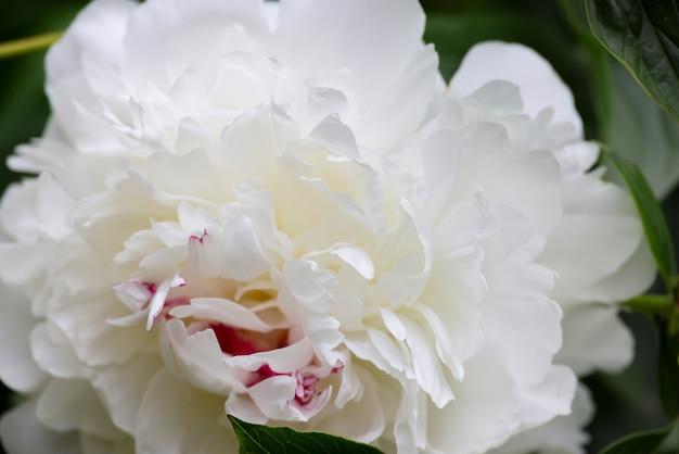 녹색 배경 위에 하나의 흰색 모란 꽃을 닫습니다