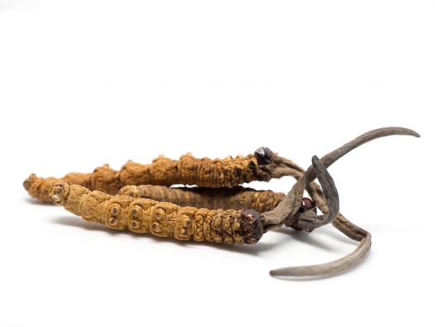 クローズアップophiocordyceps sinensisまたはキノコ冬虫夏草これはハーブです。