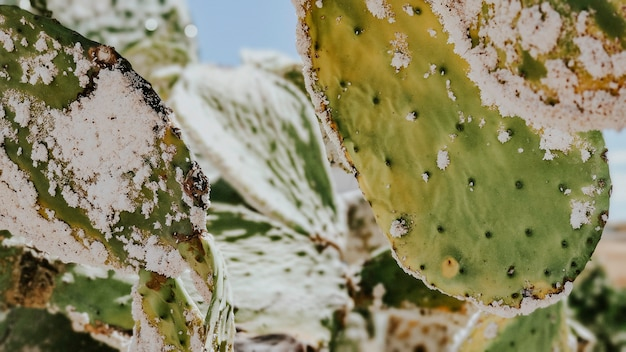 Close-up opuntia ficus-indica sick after cochineal plague