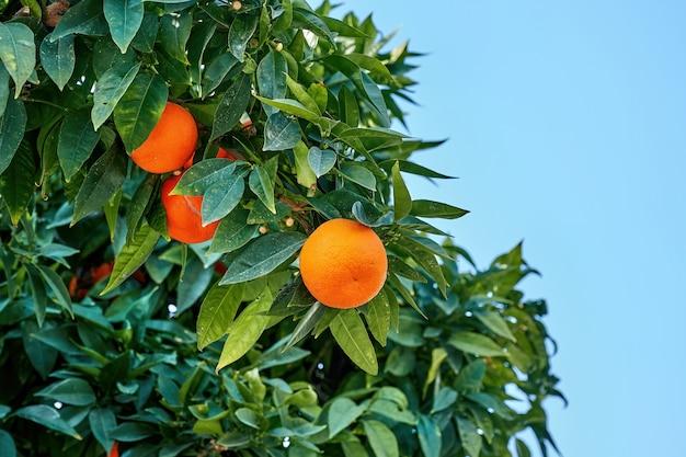 Chiuda in su dell'albero di arancio con molte foglie