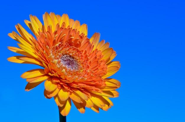 オレンジイエローのガーベラやデイジーの花をクローズアップ、花の美しい自然マクロが咲いています、青空の背景にスペースをコピーします
