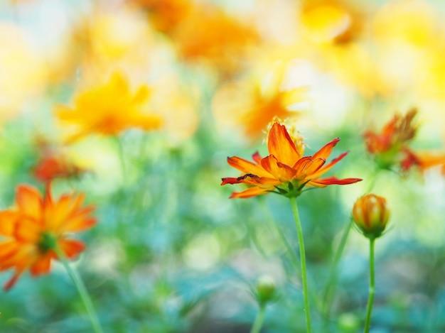オレンジ色のジニアの花を閉じます。コスモスの花。
