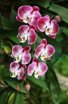 Close-up of orchid phalaenopsis. bouquet of flowers orchids.