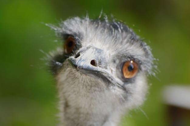 Close up  of ostrich