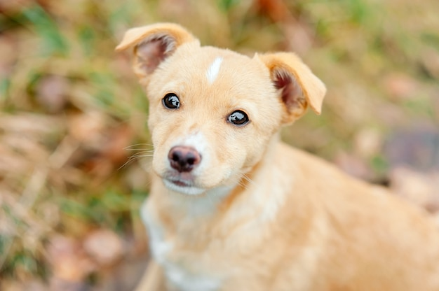 Close up outdoor portrait of homeless abandoned puppy dog with sad eyes.