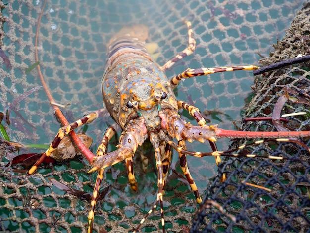 Крупным планом окрашенные колючие омары, лазящие по сети в клетке для рыб и ферме омаров на юге таиланда.