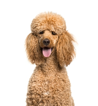 Close-up of a panting brown poodle dog, isolated