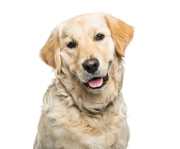 Close-up of a panting golden retriever dog, cut out
