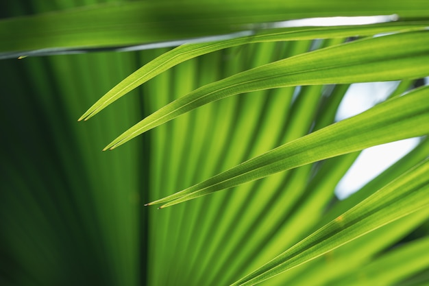 Close up of a pattern and texture green palm foliage background.
