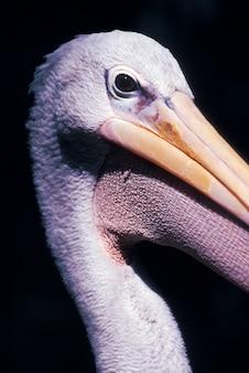 Close up of pelican