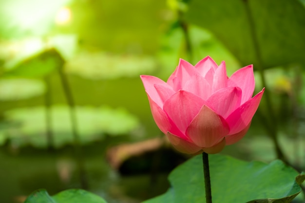 Close up perfect pink water lily or lotus with green lotus leaf in natural pond with sunli