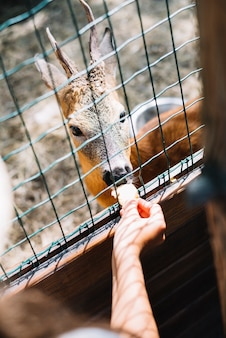 Close-up of a person's hand feeding food to deer in the cage