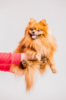 Close-up of person's hand holding red spitz on white backdrop