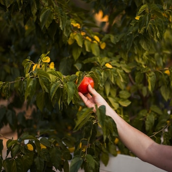 Close-up of a person's hand holding ripe red apple on tree