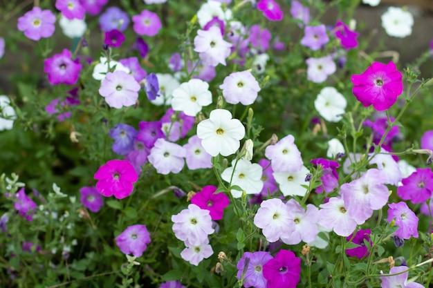 햇빛에 클로즈업 피튜니아 꽃입니다. 흐릿한 녹색 자연 배경으로 여름에 피는 분홍색 피튜니아. 필드의 얕은 깊이.