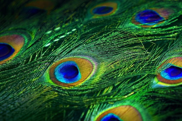 Close up photo of beautiful peacock tail.