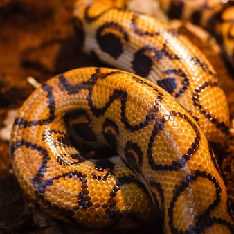 Close-up photo of burmese python