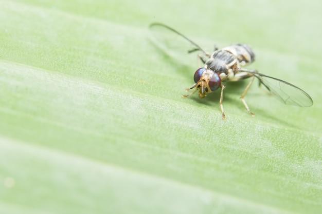 Close up photo of drosophila melanogaster