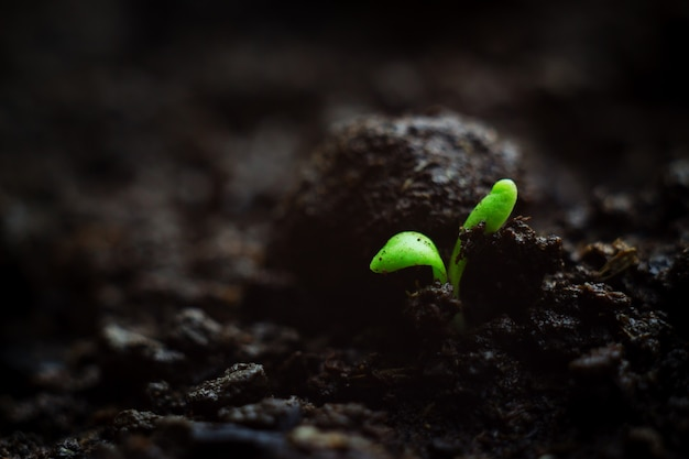 Close-up photo of fragile tiny microgreen seedling growing in organic soil, very first leaves of plant. vitality springtime concept card with copyspace.