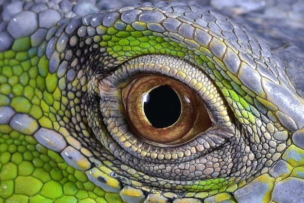 Close up photo of a green iguanas eyes