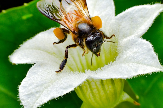 Close-up photo of honey bee gathering nectar and spreading pollen.