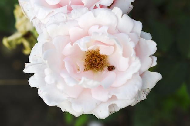 Close up photo of ladybird on pink garden rose