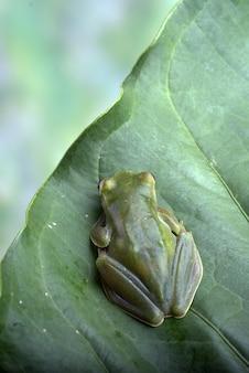 Close up photo of malayan tree frog