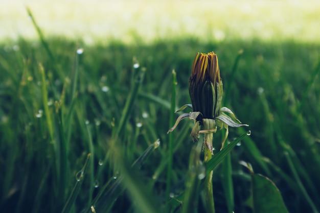 緑の草がぼやけて背景に閉じたタンポポの芽のクローズアップ写真