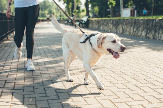 화창한 날 공원에서 그의 주인과 함께 걷는 래브라도의 사진을 닫습니다