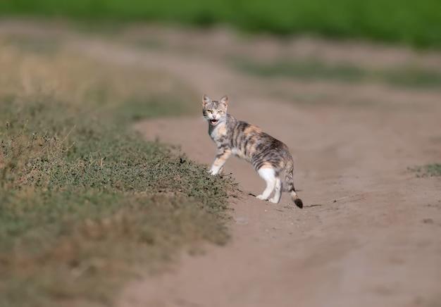 Крупным планом фото трехцветного кота (кота) на полевой дороге