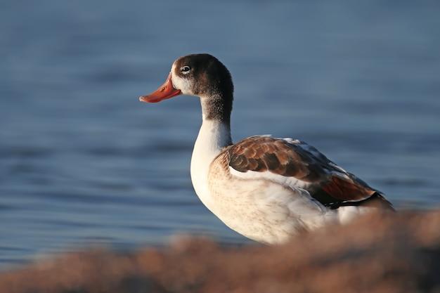 Крупным планом фото молодой серой утки, стоящей на берегу голубой воды в мягком утреннем свете