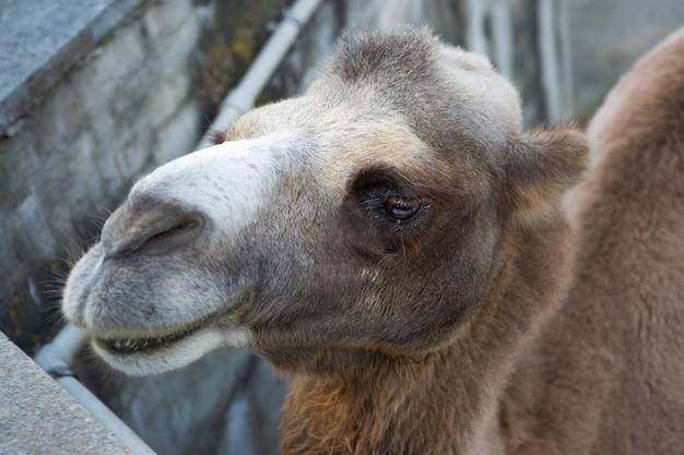 レンズを見ているラクダのクローズアップ写真