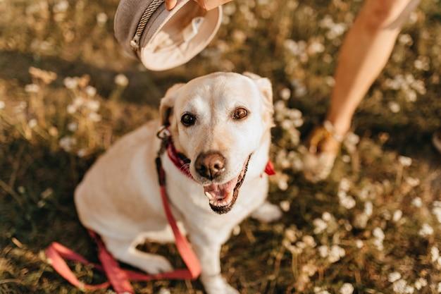 草の上に座って口を開けた犬のクローズアップ写真。赤い襟のラブラドールは公園を散歩します。