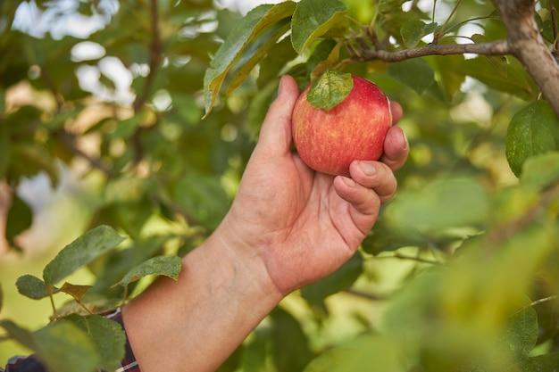 木の枝から赤いリンゴを拾う人間の手のクローズアップ写真