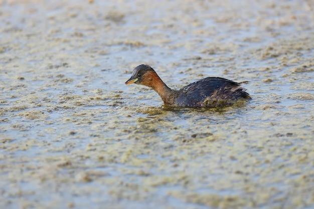 작은 grebe(tachybaptus ruficollis)의 클로즈업 사진은 부리에 물고기가 있는 겨울 깃털로 호수 물에서 수영합니다.