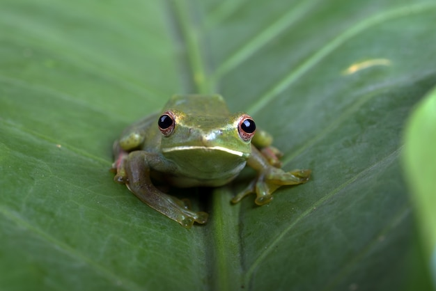 Крупным планом фото малайской древесной лягушки