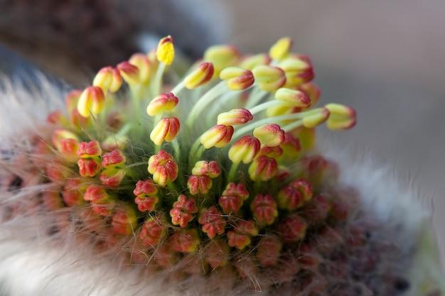 작은 튤립과 유사한 보지 버드나무 봄 분출의 클로즈업 사진